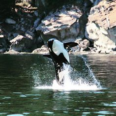 """Photo of the year? Member of K pod breaching off saturna island, BC. Photo cred to our captain Russ Orcas, Killer Whales, Sea World, Ocean Life, Under The Sea, British Columbia, Mammals, Like4like, Tours"