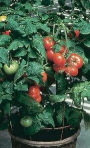 Tips for growing container tomatoes, another site that recommends egg shells
