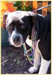 Karrie is an adoptable American Staffordshire Terrier Dog in Naples, FL. Karrie is a 7 month old spayed female American Staffordshire Terrier/Labrador Retriever mix. She is ready to fill your life wit...