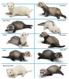 Ferret Colors and Patterns - Ferrets as Pets Ferrets Care, Baby Ferrets, Funny Ferrets, Pet Ferret, Ferret Toys, Ferret Clothes, Cute Baby Animals, Hilarious Animals, Gerbil
