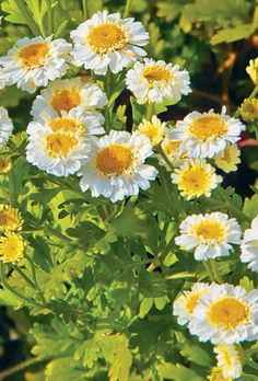 Feverfew     migraine preventative. Leaves eaten one or two a day, or made into a tincture or syrup. Easy to grow in most any soil and conditions. Reseeds, sometimes profusely--keep an eye on it.