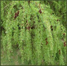 DIE LÄRCHE Plants, Trees, Tree Structure, Flora, Plant