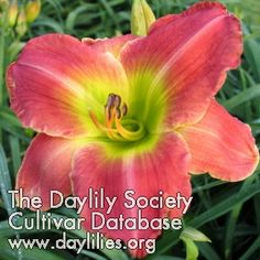 Daylily Green Eyed Warrior (Douglas-C. Types Of Lilies, Day Lilies, To My Daughter, Most Beautiful, Lily, Gardening, Green, Flowers, Plants