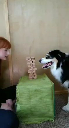 Frog Discover ME AND SECRET PLAYING JENGA Secret really enjoys games that require precision like this so we have been having a lot of fun with it. Funny Dog Videos, Funny Animal Memes, Funny Animal Pictures, Funny Corgi Pictures, Cute Funny Dogs, Cute Funny Animals, Mom Funny, Adorable Dogs, Funny Farm