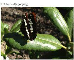 butterfly poop!
