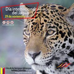 Hoy 29 de noviembre, tenemos el Día internacional del jaguar, el tercer felino más grande del mundo y que habita en varias regiones de Colombia, pero que se encuentra en vía de extinción. Les invitamos a cuidar a la fauna colombiana.  Cursos de alemán | Eventos culturales | Exámenes de certificación internacional de aemán - ÖSD  #DiainternacionaldelJaguar #Jaguar #CasaAlemana #Sostenibilidad #Amazonia #Guajira #Colombia #Preservar #Fauna #MedioAmbiente #EspeciesProtegidas #Colombia Fauna, Jaguar, Grande, Animals, The World, Environment, Sustainability, Cultural Events, International Day Of