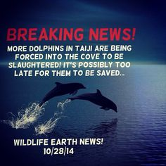 BREAKING NEWS! Dolphins were reportedly forced into the cove because of boaters making horrific sounds from loud pipes scaring them away into the nets where they would be slaughtered, and it's most likely too late for them to be saved. Please, if you want this to be stopped, support Sea Shepherd's efforts into ending the Taiji dolphin slaughter by volunteering for Sea Shepherd, or donating money! The Dolphins and Sea Shepherd need your help NOW! - Wildlife Earth News on Pinterest.