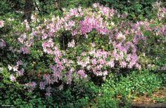 Azalea (Rhododendron (subgenus Azalea) 'George L. Taber')
