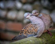 Turtle doves   11 animals that mate for life   MNN - Mother Nature Network
