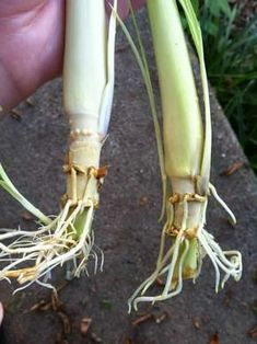 Growing Vegetables how to grow lemongrass and tips for using it - Lemongrass is a fabulous addition to your recipes and surprisingly easy to grow! You can even propagate it from cuttings. Growing Herbs, Growing Vegetables, Regrow Vegetables, Organic Gardening, Gardening Tips, Gardening Zones, Organic Farming, Indoor Gardening, Vegetable Gardening