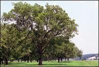Pecan trees in our yard, fun memories