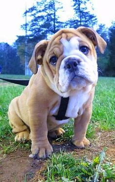 those eyes, impossible to say. those eyes, impossible to say. Animals And Pets, Baby Animals, Cute Animals, Bulldog Puppies, Dogs And Puppies, Dog Games, Paws And Claws, Cute Creatures, Spirit Animal
