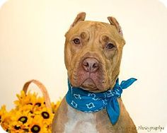 Livonia, MI - American Pit Bull Terrier Mix. Meet Pal-CP (HP), a dog for adoption. http://www.adoptapet.com/pet/11639755-livonia-michigan-american-pit-bull-terrier-mix