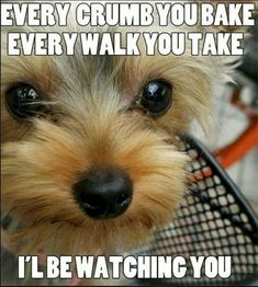 Yorkshire Terriers are awesome! Check out this list of Yorkie memes that are sure to put a smile on your face. Funny Animal Pictures, Dog Pictures, Funny Animals, Cute Animals, Animal Pics, Cute Puppies, Cute Dogs, Dogs And Puppies, Corgi Puppies