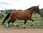 2004 GOV gelding by Bergamon out of Rochelle by Rampal. Extremley talented and loves to work. Very powerful movement and can even jump the moon! Owner sadly selling and this is a super opportunity for someone wanting this caliber horse. $15,000