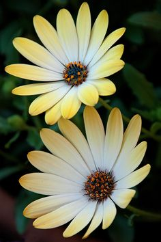 African Daisy 'Buttermilk' <3 // Any African plant which has daisylike flowers. These genera in the Asteraceae family: Arctotis, Dimorphotheca, Gazania, Gerbera, Lonas,  Osteospermum, Venidium. I don't know which this one is.