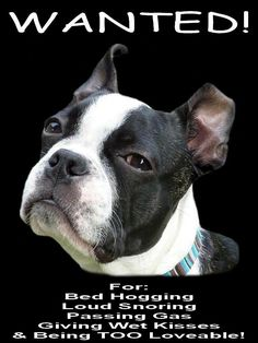 Yep, that is exactly what they do all day every day, but I love mine to the moon and back anyway. New | Boston Terrier Friendzy