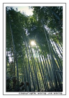 Swaying Japanese bamboo trees at Tsujunkyo, Kumamoto (Kyushu, Japan)