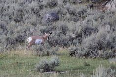 Most first-time antelope hunters should not set their sights to high when it comes to bagging a trophy. The first hunt should be considered a learning experience. Newbie antelope hunters should set a goal to take a representative buck such as this one.