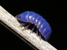 Pretty blue bug.