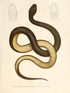 Fig. 83. Helicops Carnicaudus. Bilder-Atlas zur wissenschaftlich-popularen Naturgeschichte der Wirbelthiere. 1867.