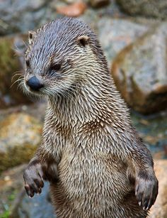 An Otter ~ At The Scottish Sea Life Sanctuary, Oban, Scotland. River Otter, Sea Otter, Animals And Pets, Baby Animals, Cute Animals, All Gods Creatures, Sea Creatures, Beautiful Creatures, Animals Beautiful