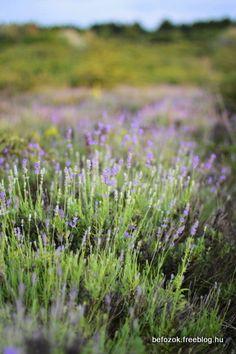 levendula szörp - Eszter Befőz Cukor, Marvel, Plants, Flora, Plant, Planting