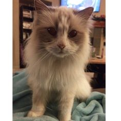 #kucingbikingemes ini kiriman dari : @theia_the_cat    punya #kucingbikingemes juga? follow dan tag @kucingbikingemes  jangan lupa pakai #kucingbikingemes   via #catsofinstagram #cat #cats #catofinstagram #cat_of_instagram #catstagram #catsoftheworld #catslover #catgram #catagram #catslife #kucing #kucingku #kucinglucu #kucingsaya #kucingimut
