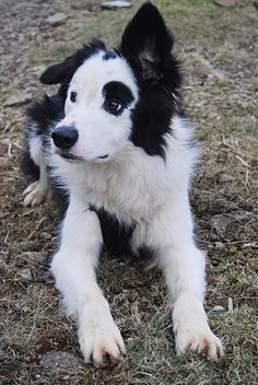Puppy. Dog. Black and White. Spots. Floppy Ears. SO cute. Adorable. Fluffy