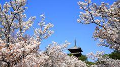 京都仁和寺の華やかな満開の御室桜と五重塔