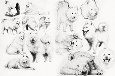 Samoyed sketch by BlackFye.deviantart.com on @DeviantArt
