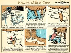 How to Milk a Cow | The Art of Manliness