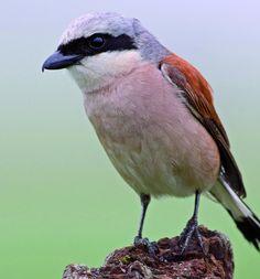Red-backed Shrike (Lanius collurio), grauwe klauwier