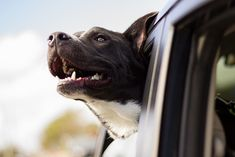 Is your dog safe while travelling in your car? Have you wondered what will happen in the case of an accident? For all details regarding safety of dogs in cars - read this post! #dogs #travel #travelwithdogs