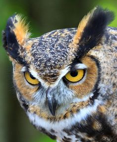 Great Horned Owl (Bubo virginianus) by Lifeinthenorthwoods.com on Flickr.