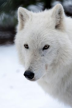 Atka by roni chastain on 500px  Photo taken at the Wolf Conservation Center, S. Salem, NY  Atka is one of the ambassador wolves there. To hear Atka howling, check out.  https://www.youtube.com/watch?v=mFXPVzGUz4E&list=FLNbdIuaZHsG7Ghac1iQZ4kQ