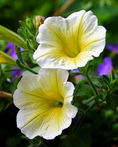 Petunias, Flower Photos, Image Photography, Bellisima, Wonders Of The World, Beautiful Flowers, Vibrant Colors, Sunshine, Therapy