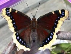 Montana designated the lovely mourning cloak butterfly (Nymphalis antiopa) as the official state butterfly in 2001. Often the first butterflies to emerge in the spring (frequently before the winter snow has melted), mourning cloaks rest on tree trunks and turn their dark wings toward the sun to absorb heat for flight.