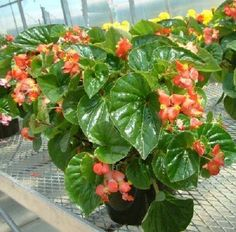 200 Begonia Seeds Higro Red Pelleted Seeds BULK SEEDS #begonia