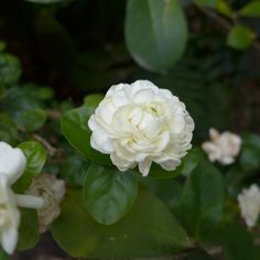 https://flic.kr/p/CWVFfg | Il Granduca di Toscana | Jasminum sambac ' Grand Duke of Tuscany'. The flowers are very short-lived, starting to brown the day they open.