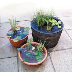 A mini-aquatic garden in a tub or other container located close to the house on a deck or patio, can provide you with a unique ga...