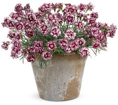 Fruit+Punch®+'Coconut+Punch'+-+Pinks+-+Dianthus+hybrid