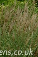 Miscanthus Kleine Silberspinne6880a
