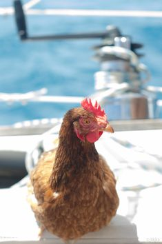 Adventurous Man and His Brave Pet Chicken Are Sailing Around the World Together