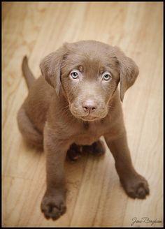 Beautiful Eyes - Chocolate Labrador Retriever {NJ, DE, PA Pet Photographer}   Jane Bingham - Photography Artist
