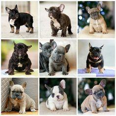 French Bulldog Puppies, so many colors
