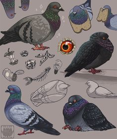 "novelteeth: ""Pigeon studies for a commission! I love them, they're so goofy and fun to draw…fluffy twitter 