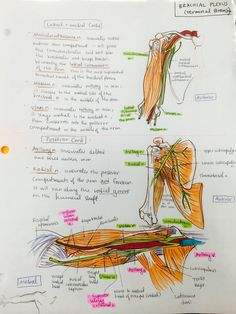 ambitions like ribbons — Anterior thorax and upper limb bones Gross Anatomy, Human Body Anatomy, Human Anatomy And Physiology, Upper Limb Anatomy, Anatomy Study, Anatomy Art, Medicine Notes, Medicine Student, Physical Therapy School