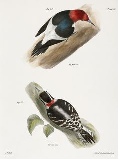 The Red-headed Woodpecker (Picus erythrocephalus) The Downy Woodpecker (Picus pubescens) illustration from Zoology of New york - by James Ellsworth De Kay Vintage Bird Illustration, Illustration Art, Downy Woodpecker, Drawing Sketches, Drawings, Vintage Birds, New York Public Library, Zoology, Free Illustrations