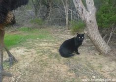 Use our Eucaluptus Oil to get rid of cats the natural way Eucalyptus Oil Uses, Kangaroo Island, Emu, Natural Products, Black Bear, Distillery, Cats, Nature, Animals